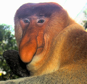 A dominant male proboscis monkey at the Singap...
