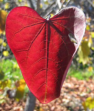 A red, heart-shaped leaf in Scotts Valley CA i...