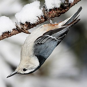 White-breasted Nuthatch in Algonquin Provincia...