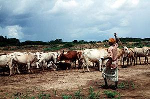 Somali cattle