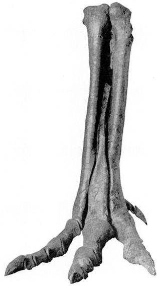 Alectrosaurm olseni.jpg