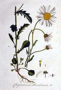 PKRLeucanthemum vulgare  Wikiverzita