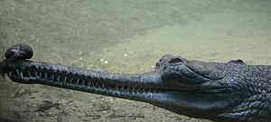 English: a male gharial kept at the Madras cro...