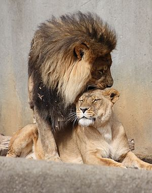 English: Lion mating ritual, Louisville Zoo
