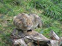 Kucing liar Eropa(Felis silvestris silvestris)