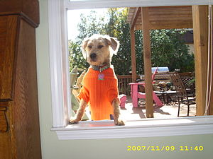 English: Zoey dressed in an Auburn sweater pee...