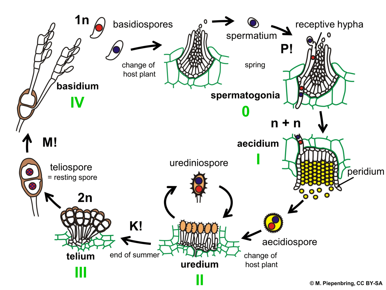 horsetail plant diagram block and circuit wiring diagrams file 03 04 06 life cycle of puccinia graminis on a grass