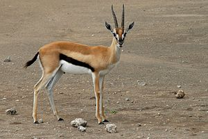 A Thomson's Gazelle at Serengeti National Park...