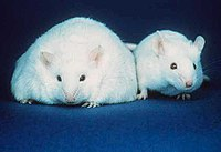 Two mice; the mouse on the left has more fat s...