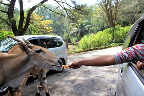 Berkas:Feeding the Animal at Taman Safari.JPG