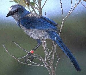 Florida Scrub-Jay, Aphelocoma coerulescens
