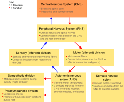 Classification Of Peripheral Nerves Wikipedia