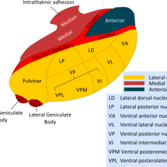 Brain Diagram Thalamus Ez Go Golf Cart 36 Volt Wiring Diagrams Intralaminar Nuclei Of Wikipedia