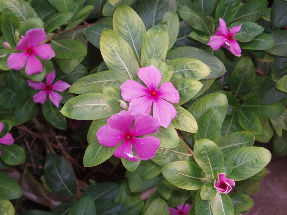 Roze maagdenpalm  Wikipedia