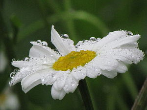 Daisies And Drops
