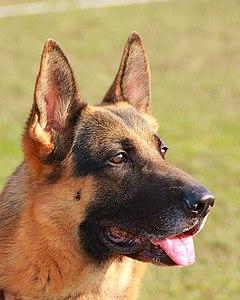 Max Movie Dog Breed : movie, breed, German, Shepherd, Wikipedia