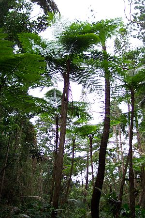 Tree ferns on Isle of Pines