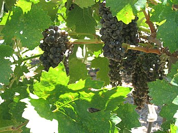 Grapevines from COPIA in Napa Valley, California