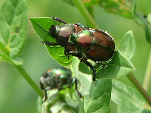 English: Japanese Beetles (Popillia japonica),...