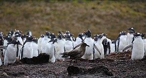 A Brown Skuas stalking Gentoo Penguins at Godt...