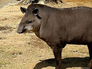 The Brazilian Tapir.