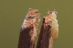 Worker termite