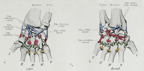 dog bone diagram 04 ford focus fuse carpal bones - wikipedia