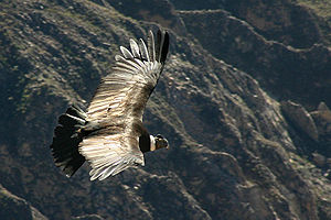 A condor (Vultur gryphus) flying over the Colc...