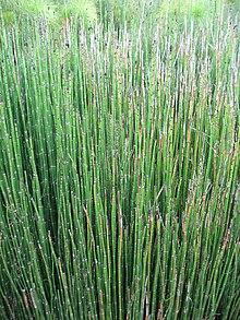 horsetail plant diagram 2003 chevy impala engine equisetum wikipedia rough in parc floral de paris