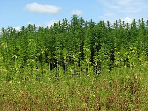 Hemp (Cannabis spec.) - detail - geograph.org....