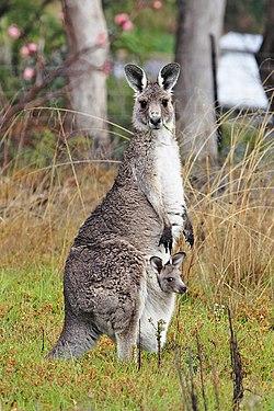 Kangguru dan anaknya