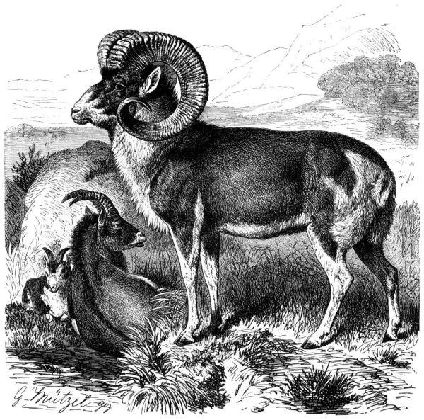 Marco Polo Sheep - Wikipedia