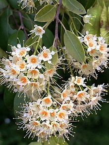 Pteleopsis myrtifolia  Wikipedia