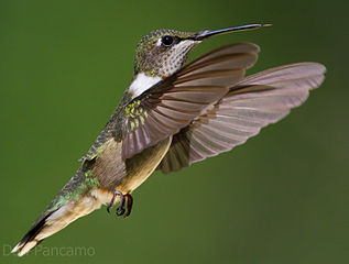hummingbirds are better than helicopters