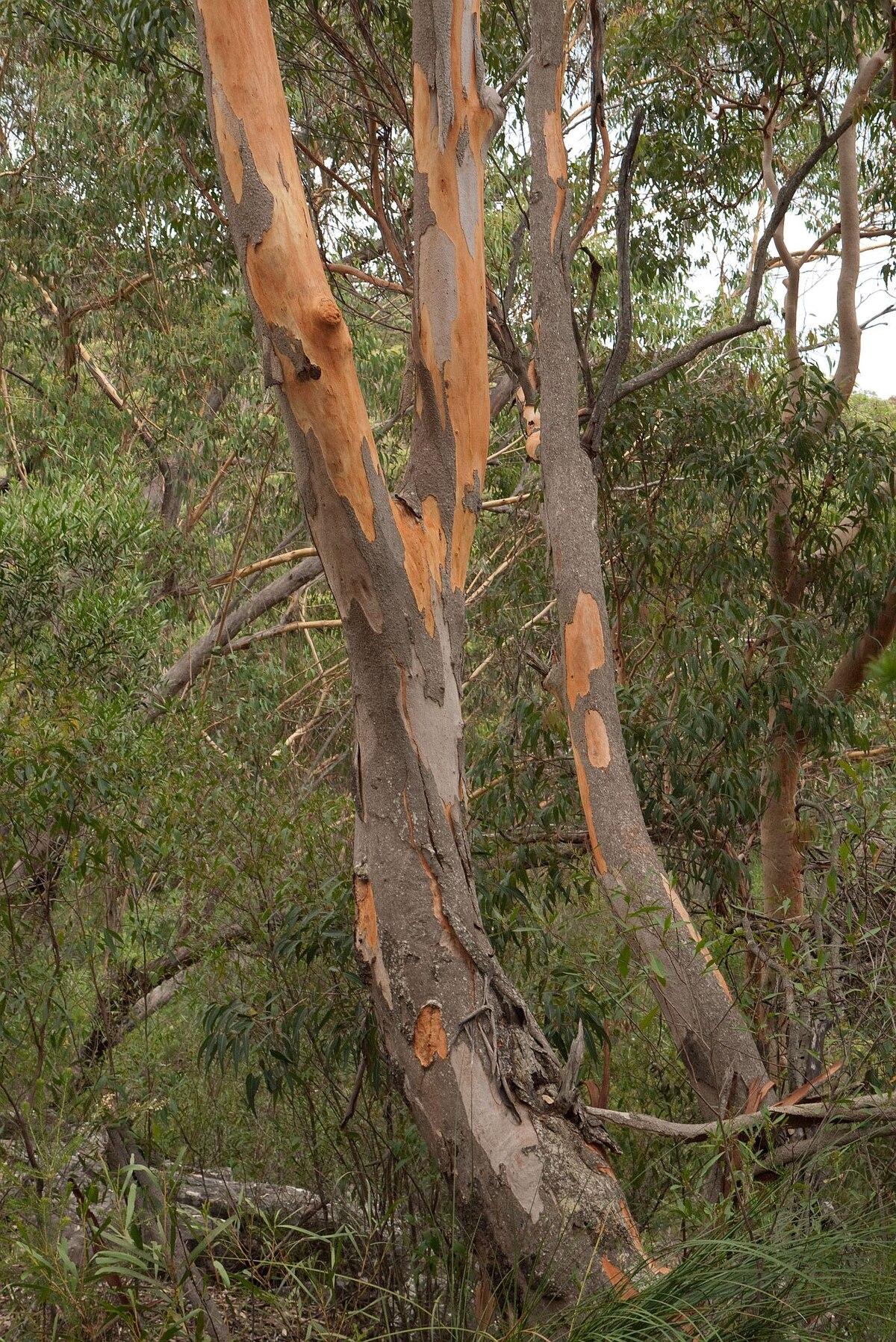Eucalyptus punctata - Wikipedia