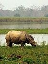 Grande rinoceronte indiano cornuto