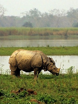 Indian rhinoceros Rhinoceros unicornis, Kazira...