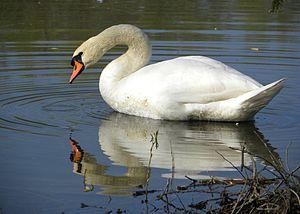 English: Mute Swan (Cygnus olor) - male Česky:...