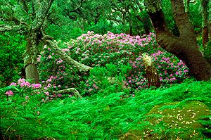 Oaks, rhododendrons and ferns in the Los Alcor...