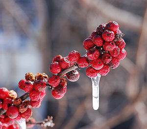 American Winterberry Ilex verticillata 'Winter...