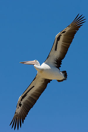 An Australian Pelican gliding with its large w...
