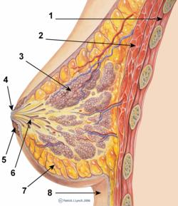 Mammary gland  Wikipedia