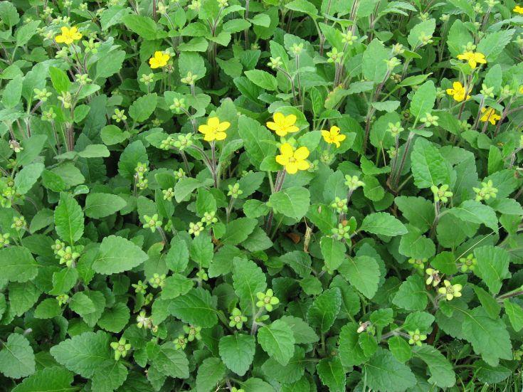 ChrysogonumVirginianum.jpg