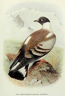 Snow pigeon  Wikipedia