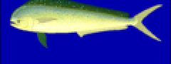 Coryphaena hippurus.PNG