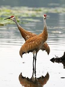 crane bird wikipedia