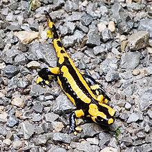 kitchen salamander aid hand held mixer 沙羅曼達 维基百科 自由的百科全书 火蠑螈的照片