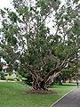 Melaleuca leucadendra - Wikimedia Commons