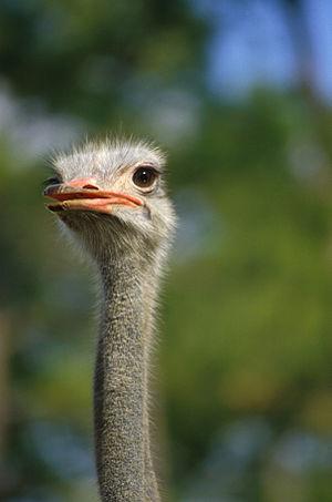 English: Ostrich