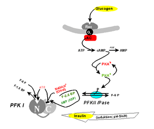 Deutsch: Regulation der Phosphofructokinase